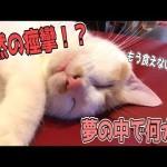 【夢見る猫】寝ている最中体がめっちゃ痙攣しちゃう猫