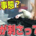 【緊急事態?】朝起きたら猫が棚に突き刺さっていた